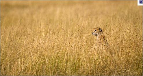 cheetah_thumb.jpg